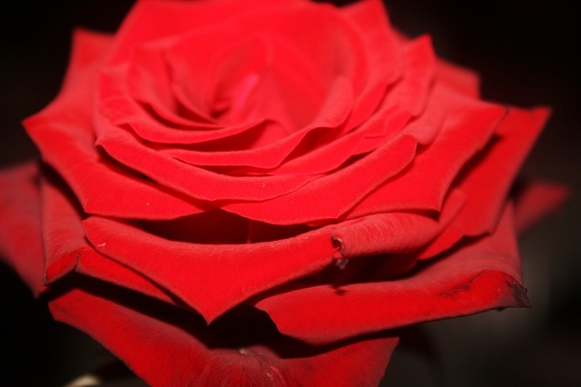 Res Rose