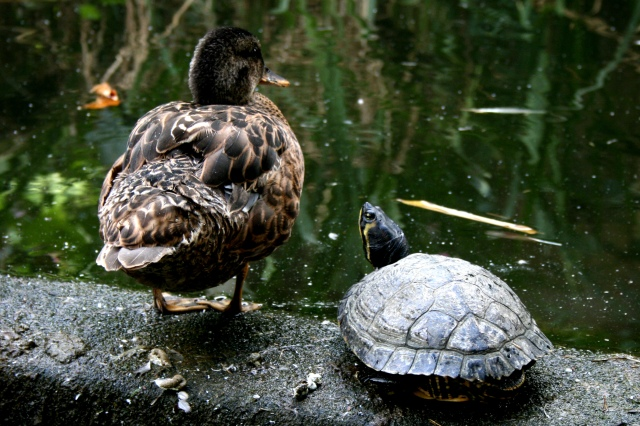 Duck and Turtle Pals
