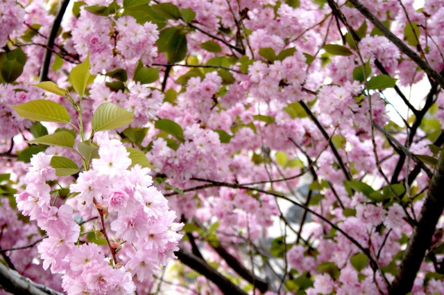 Cherry Blossoms Bonn
